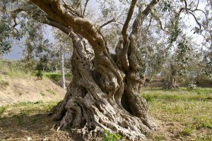 oliva sicula
